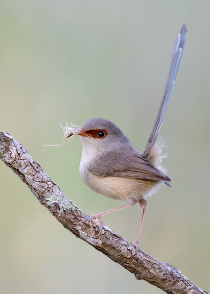 Female Variegated Fairywren (Malurus lamberti)