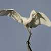 White Egret, Macintosh Island Park, Gold Coast, Queensland.