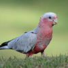 Galah, Gold Coast, Queensland.