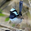 Superb Fairywren, Spit, Gold Coast, Queensland.