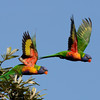 Rainbow Lorikeets, The Spit, Gold  Coast, Queensland.