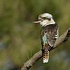 Laughing Kookaburra, Federation Walk Nature Reserve, Gold Coast, Queensland. Kingfisher Family.
