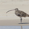 Eastern Curlew (Numenius madagascariensis)